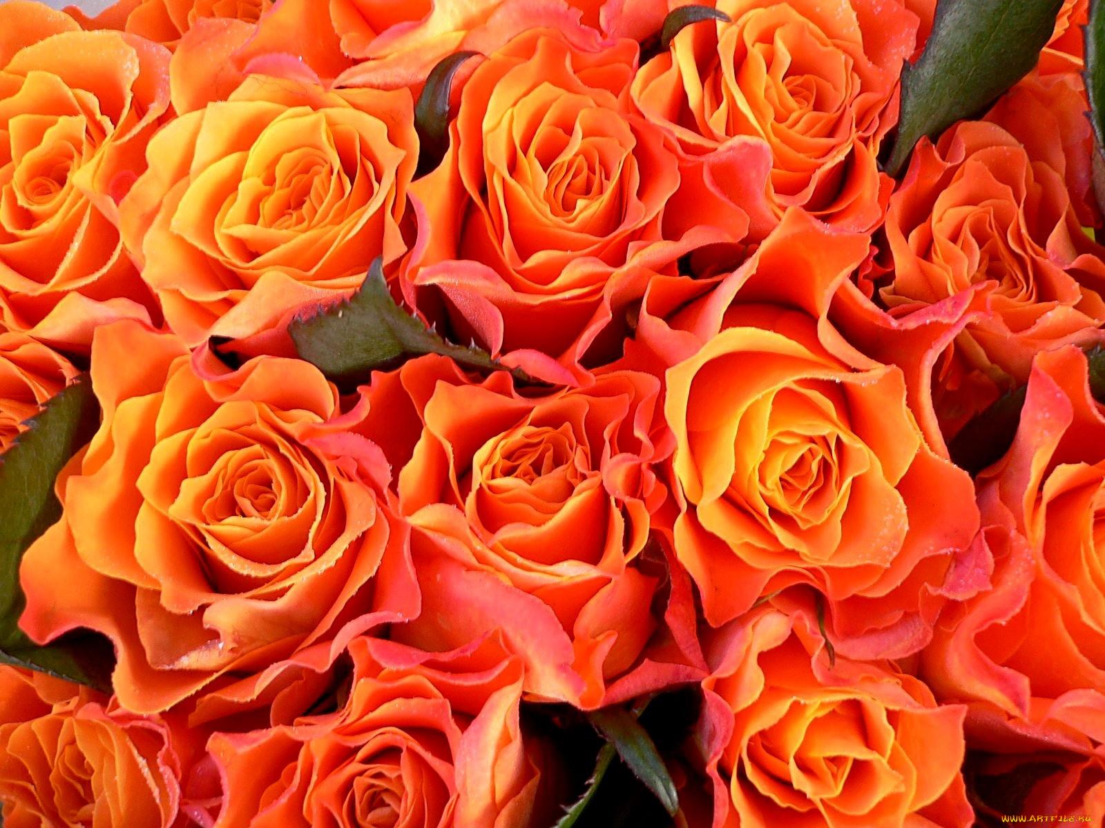 Розово оранжевые розы картинка